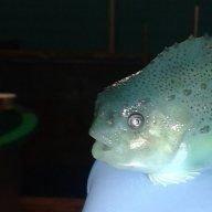 The Lumpfish Guy